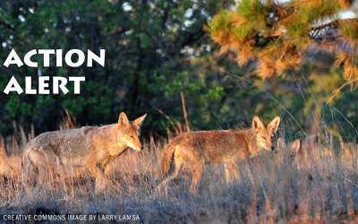 Coyote Management Plan Meeting – Please Join Project Coyote on Oct.16 in West Hollywood, CA