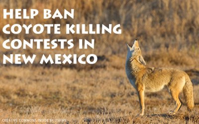Help Ban Coyote Killing Contests in New Mexico