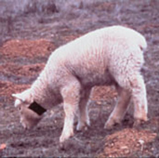 Sheep wearing 1080 collar