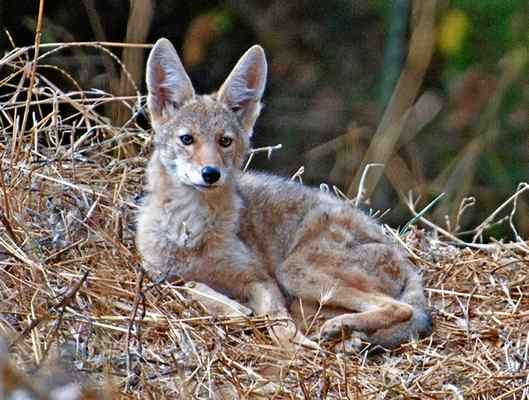 Keep a short leash; coyote safety meeting held in San Francisco