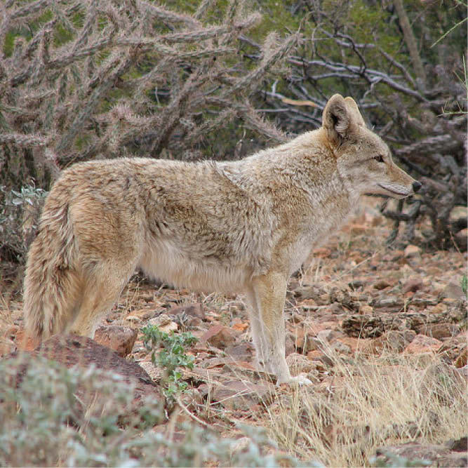 Becoming Wolf: The Eastern Coyote in New England