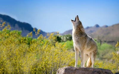 Let's call coyote hunts what they are: mindless bloodbaths