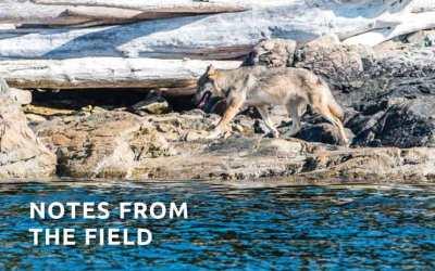 A Lone Wild Wolf called Takaya ~ An Interview with Cheryl Alexander