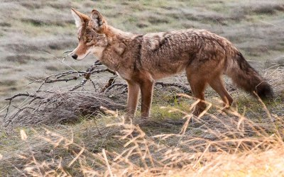 Cape Cod coyote-hunting contest spurs protests