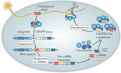 Figure 2: The CRISPR-Cas System Mechanism Source: Samson, Magadán, Sabri, & Moineau, 2013