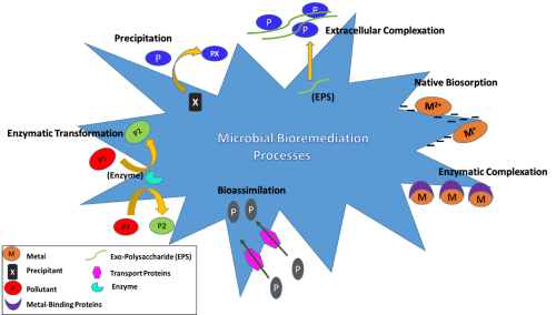 Different metabolism,iIndependent and dependent pathways of microbial remediation