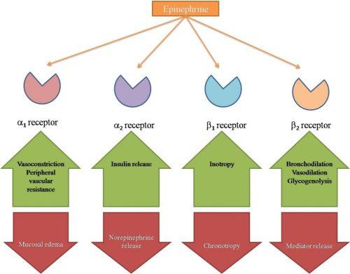 Adrenergic effects of epinephrine