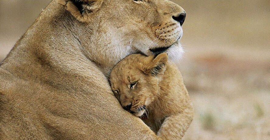 asiatic-lions-sasan-gir-national-park-wildlife-sanctuary-jungle-forest-junagadh-news-saurashtra-kathiyavad-gujarat-india-1007x500