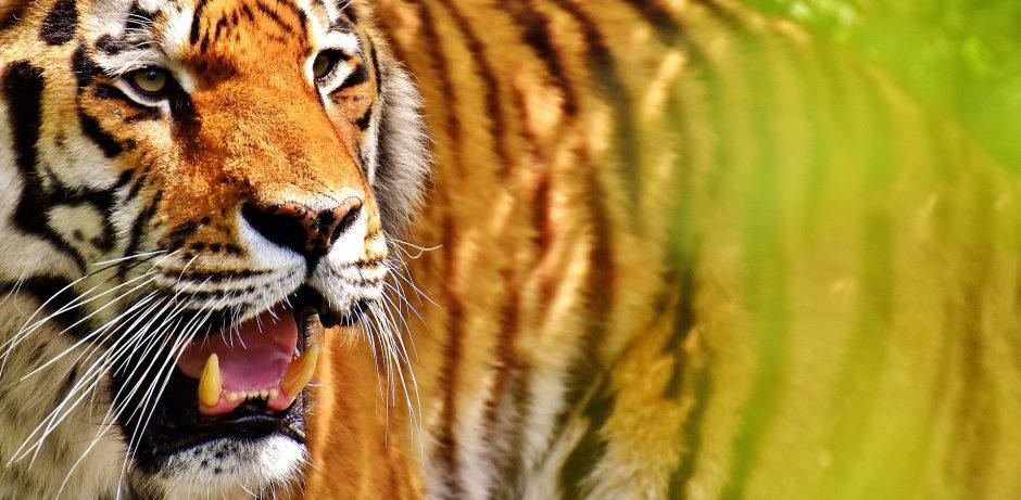 tiger-2