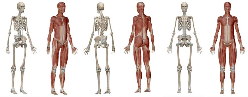 apparato scheletrico e muscolare