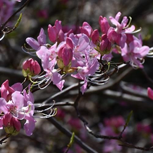 Pinkshell Azalea (R. vaseyi)
