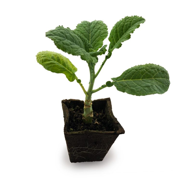 One Dinosaur Tree Collard Plant