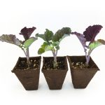 Three Purple Tree Collard Plants