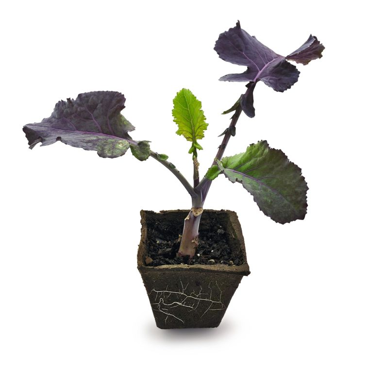 one purple tree collard plant