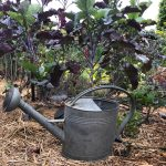 Young Purple Tree Collard Plant