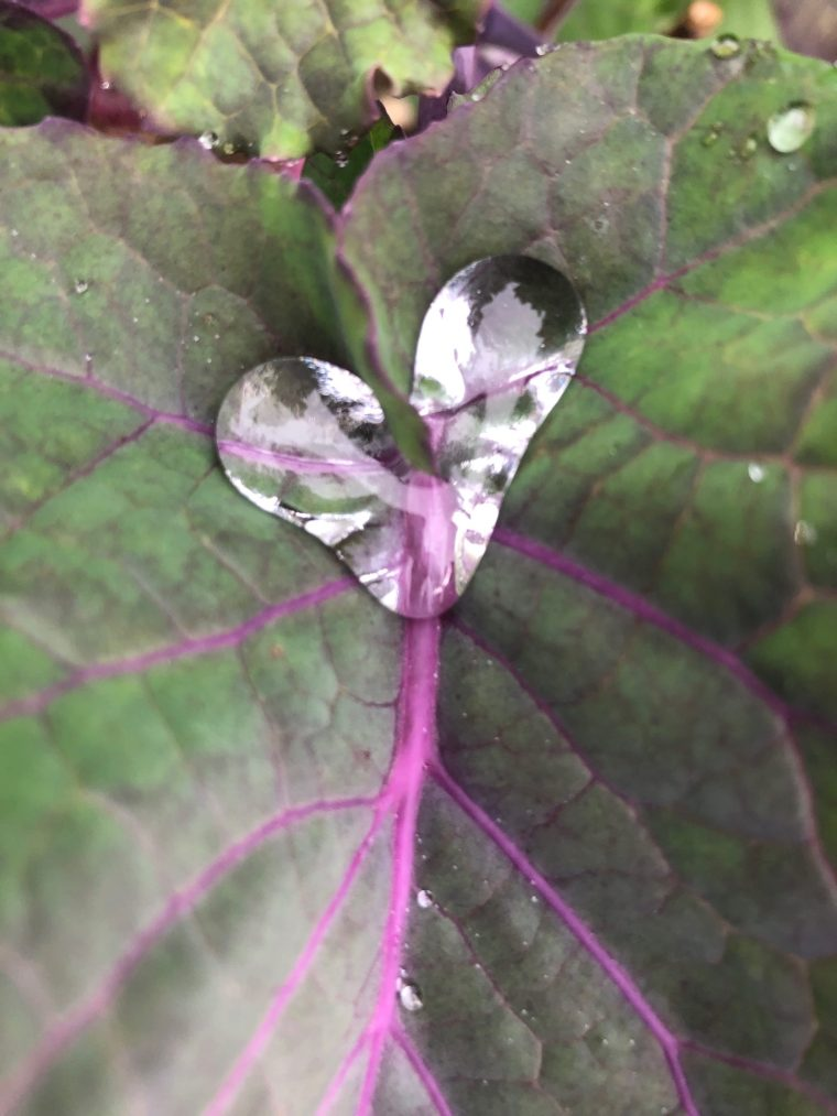 Purple Tree Collard Leaf