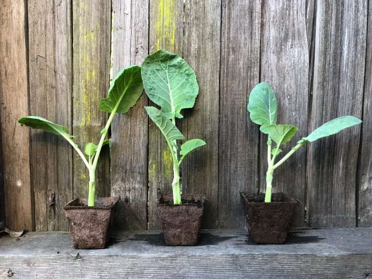 3 Rooted Jolly Green Tree Collard Plants