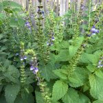 scullcap plant in garden