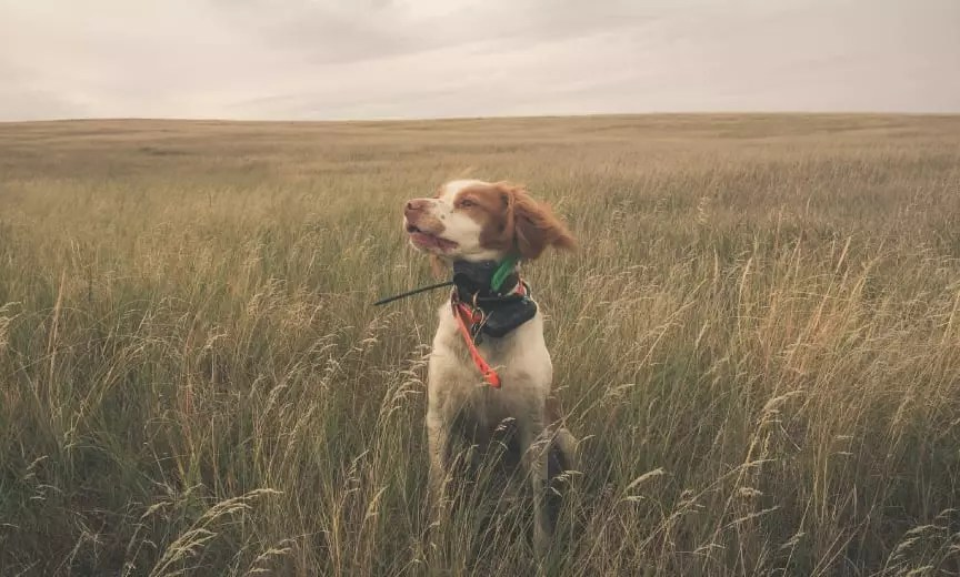 American Brittany bird hunting dog