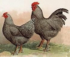 Mechelse koekoek (Foto: Wikipedia)