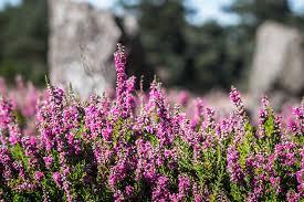 heather fleur bruyere