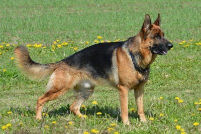 Dog arthritis, some breeds more subject than others