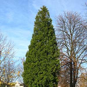 Arborvitae 'Green Giant'