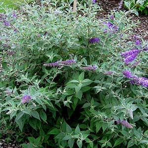 Lo Behold Butterfly Bush