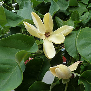Magnolia 'Yellow Bird' or ``Butterfly Magnolia``