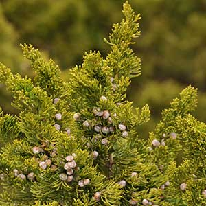 Sea Green Juniper