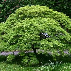 Japanese Maple 'Virdis'