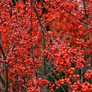 Winterberry Holly Berry Heavy