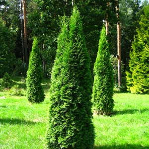 Arborvitae 'Emerald Green'