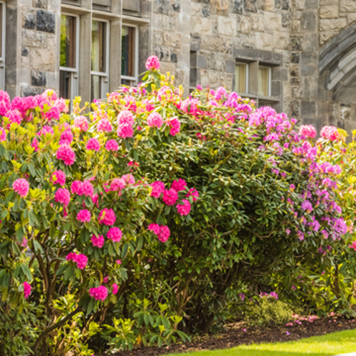 blooming shrubs for spring