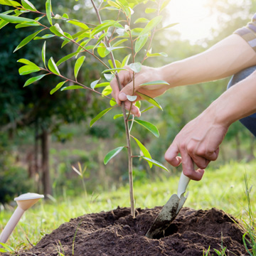 caring for young trees