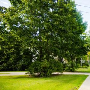 limiting tree growth