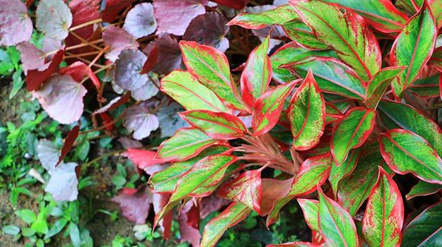 plantes a feuillage decoratif