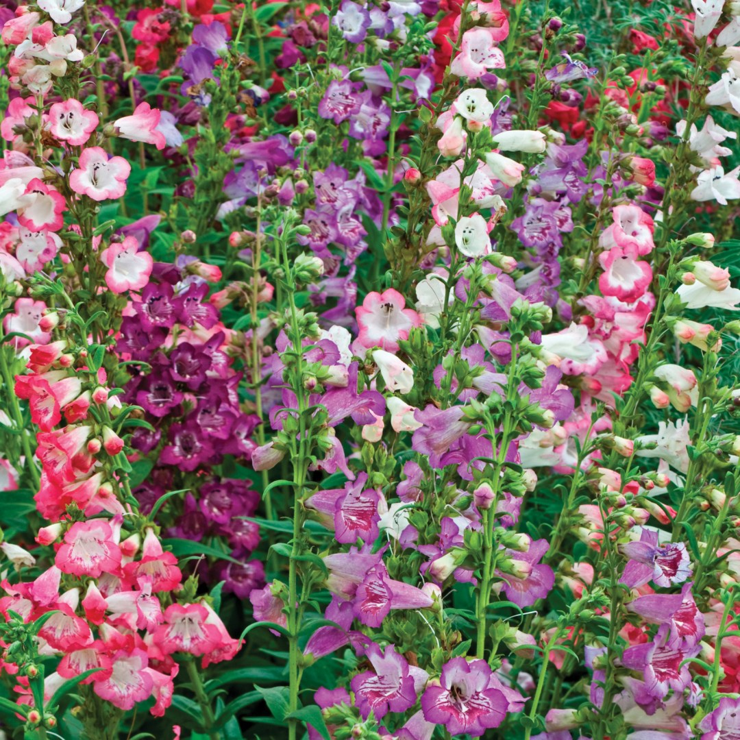 Penstemon Wedding Belles