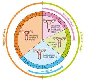 Pronacera - Fases ovarico