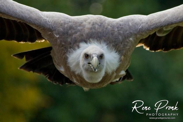 Eifel roofvogel r oktober 2012 001