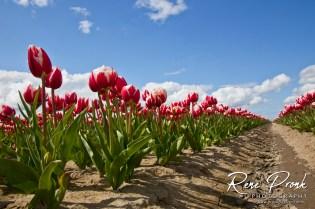 Tulip fields in Lamswaarde, Netherlands, April 2012.