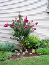 Crape Myrtle planted to close to house