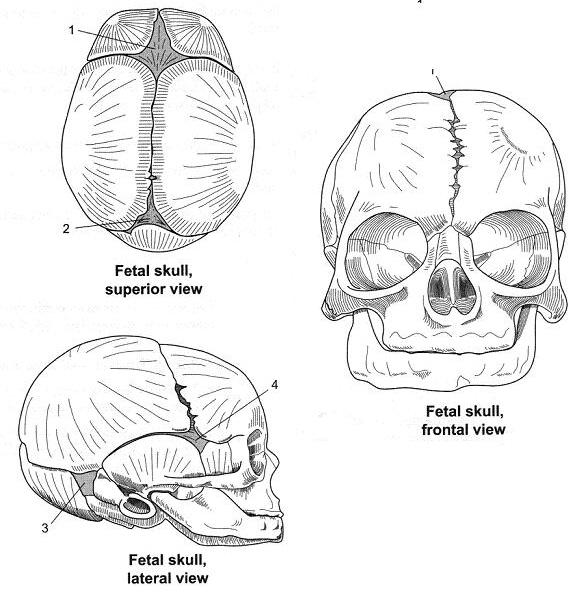 Define The Following Views And Points Of Axial Skeleton In
