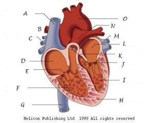 Interesting All Parts About Hearts  ProProfs Quiz