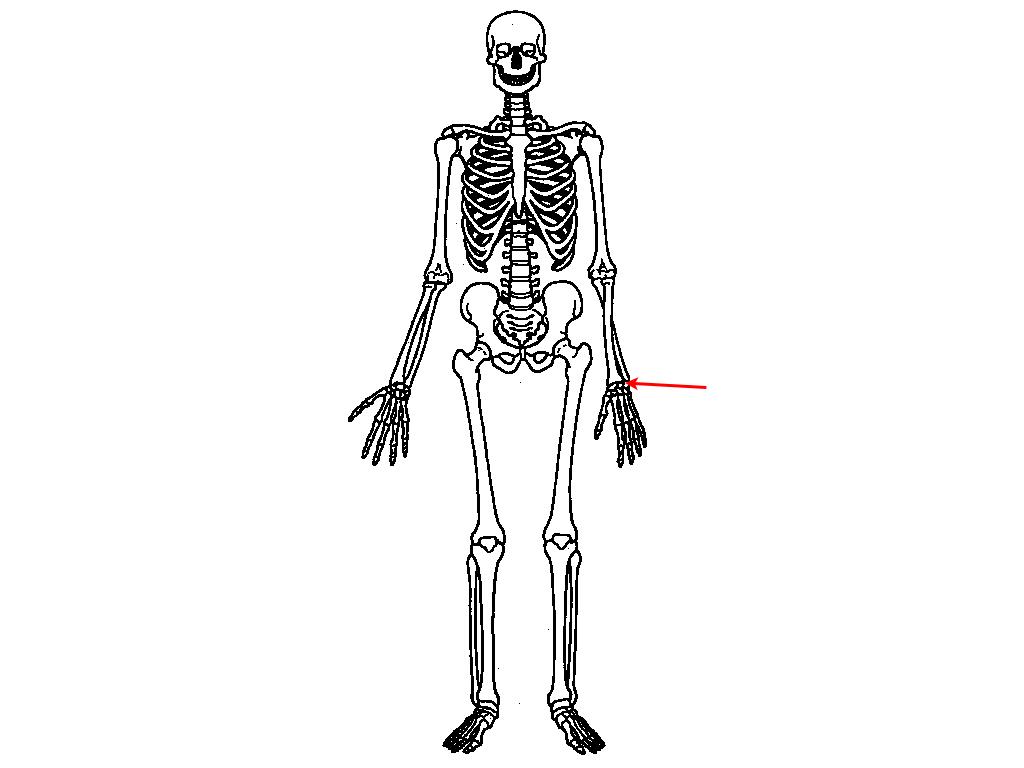 Upper Skeleton