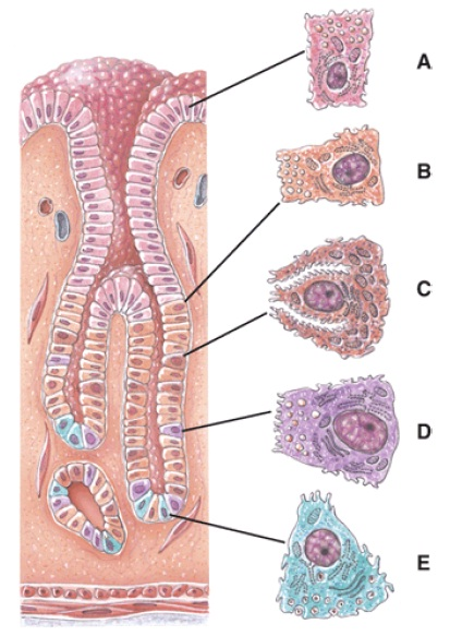 Anatomy And Physiology Questions - The Digestive System ...