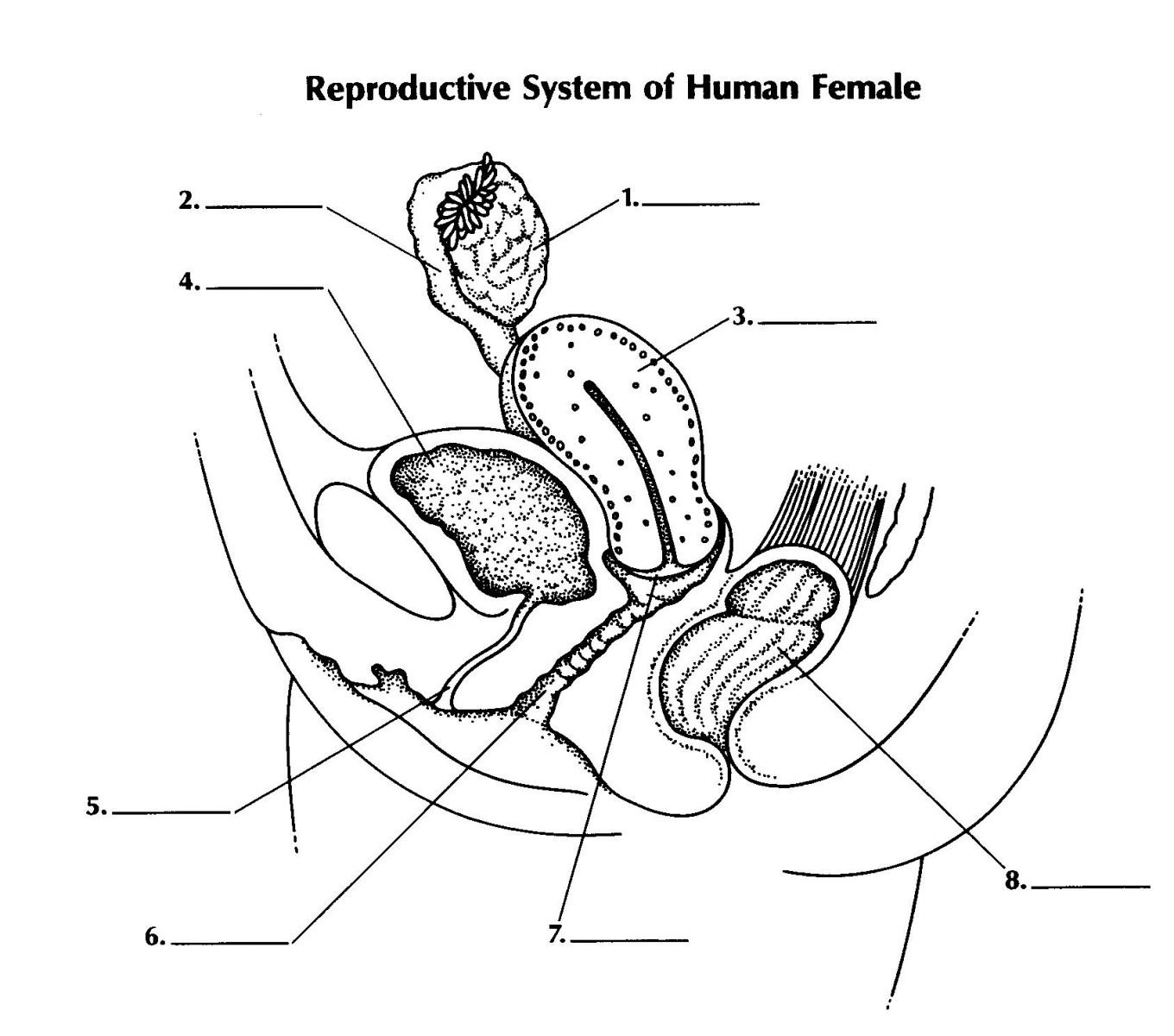 Male Reproductive System Labeling Worksheet