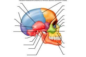 Cranium Bone Quiz  ProProfs Quiz