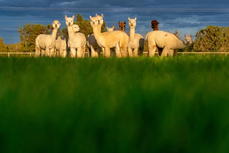 Flying Dutchman Alpacas by Bend real estate photographer Wasim