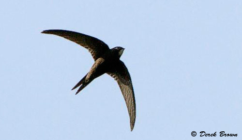 The Common Swift is also know as The Devil Bird